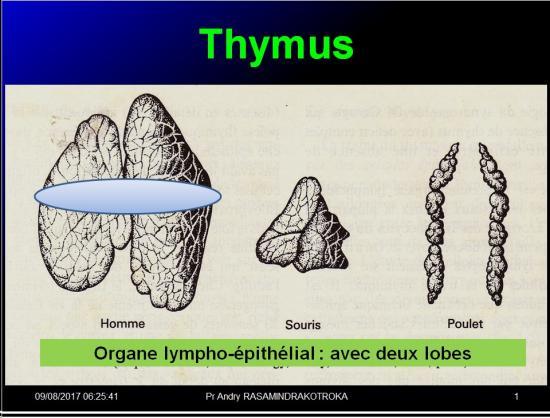 Organes de l'immunité 6