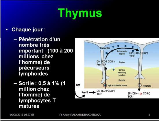Organes de l'immunité 9