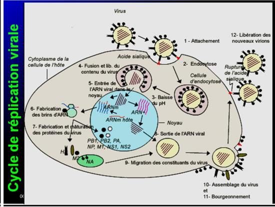 Orthomyxoviridae et infections par virus de la grippe 3