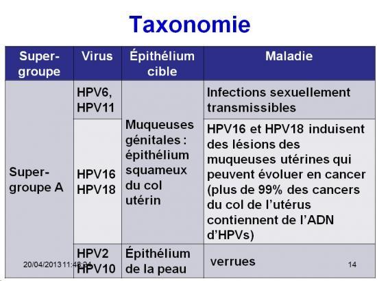 Papillomaviridae 1