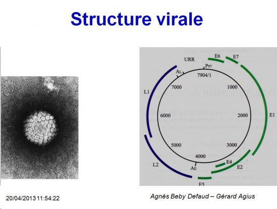 Papillomaviridae 3