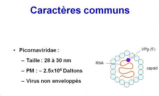 Picornaviridae (2)