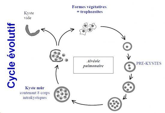 Pneumocystis et pneumocystose 3