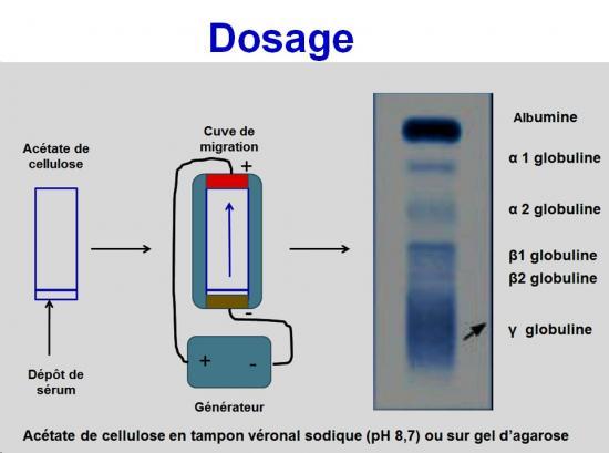 Protéines plasmatiques 2