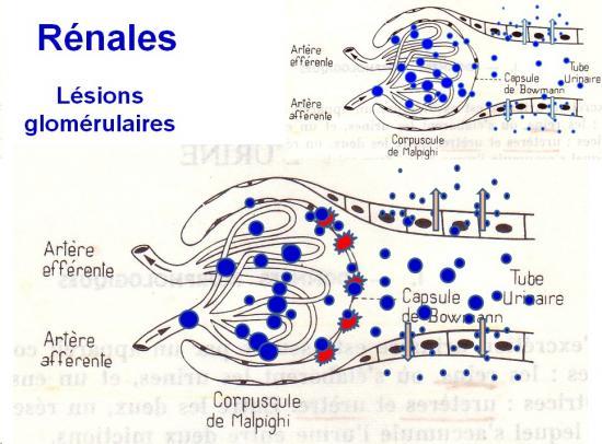 Protéines urinaires 8