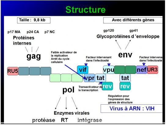 Retroviridae et infections par HTLV et VIH 3