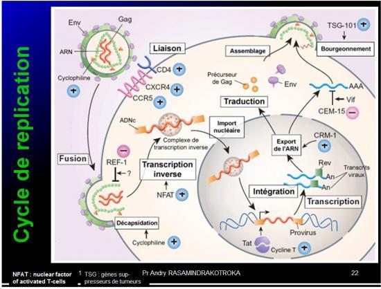 Retroviridae et infections par HTLV et VIH 5