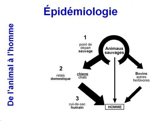 Rhabdoviridae - virus de la rage (7)