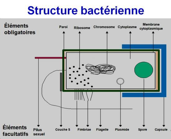 Structure bactérienne 3