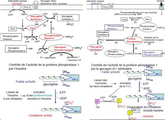Synthèse et dégradation du glycogène 2