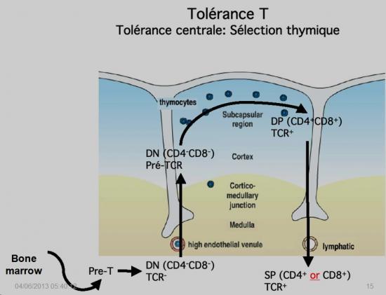 Tolérance immunitaire 1