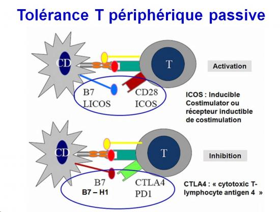 Tolérance immunitaire 16