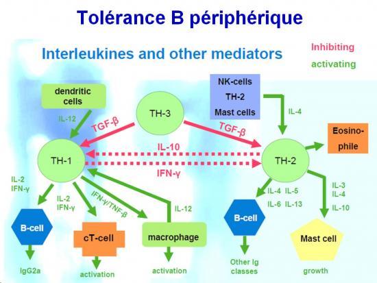 Tolérance immunitaire 24