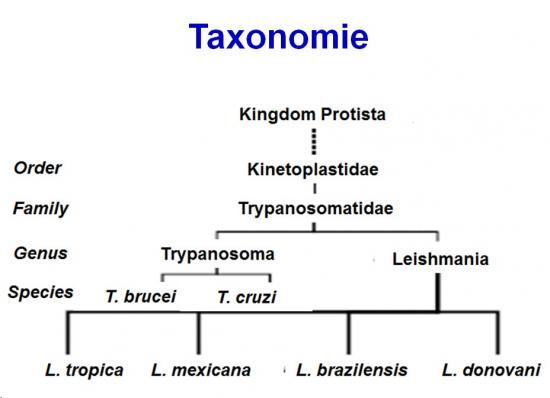 Trypanosoma et trypanosomiase 1